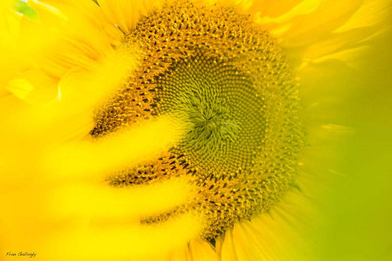 Dreamy Sunflower