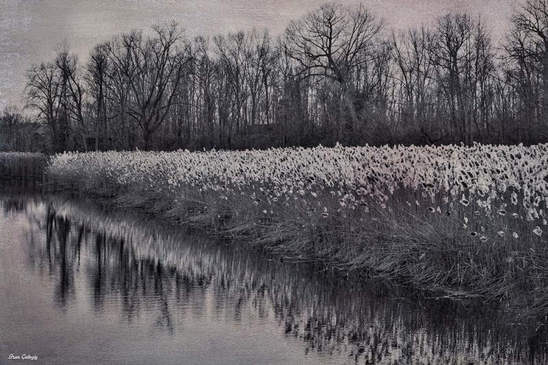 Cattails by the Swamp River