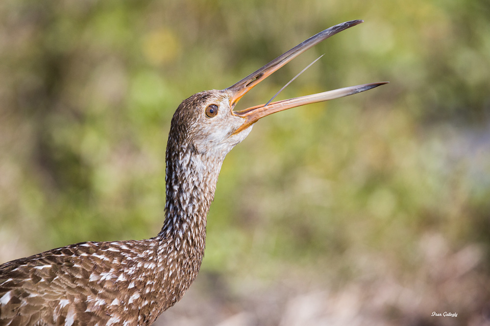 Cry of the Limpkin