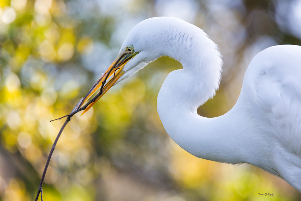 Great Egret with Nesting Material