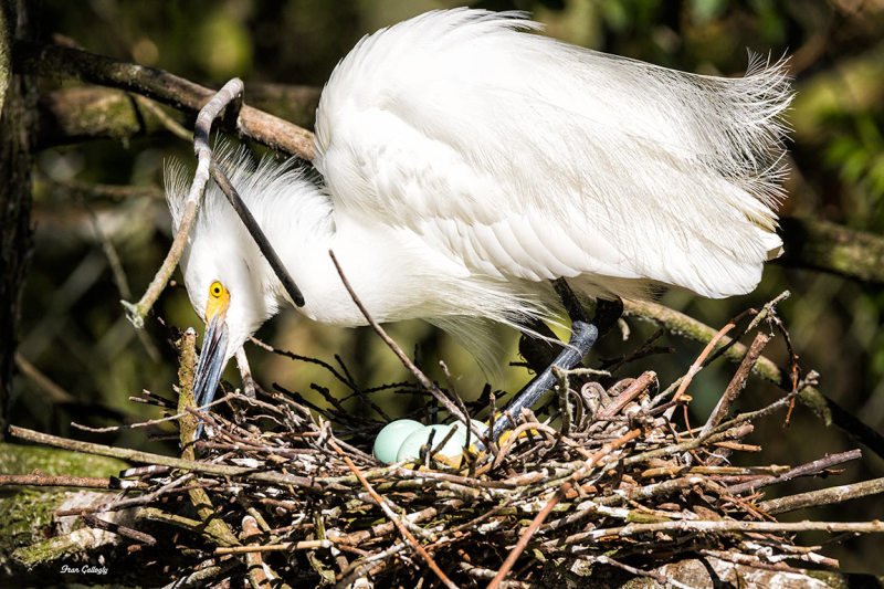 Snowy Egret On Nest