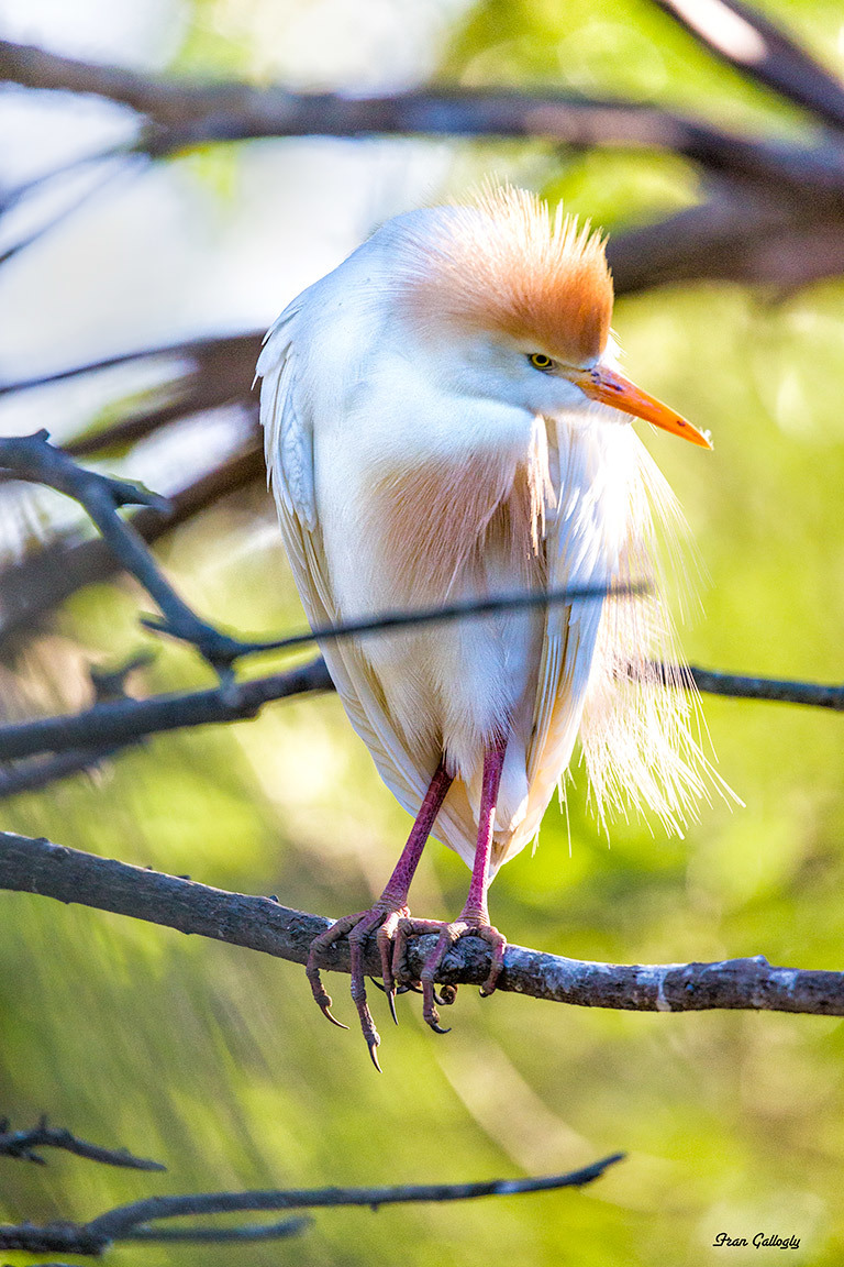 Fancy Cattle Egret