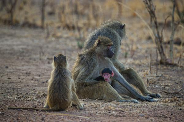 Newborn Baboon