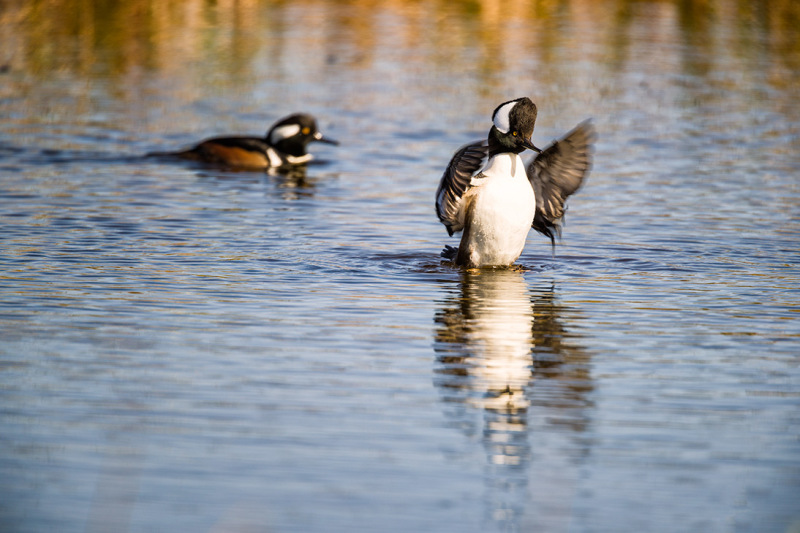 Hooded Merganser in mating plumage