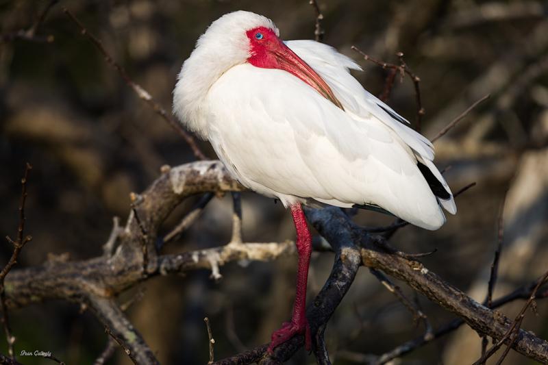 Ibis in mating plumage at Wakodahatchee, Florida