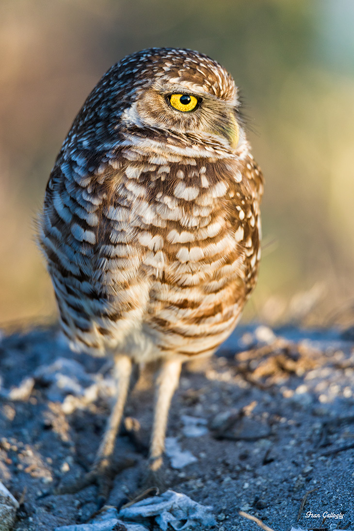 Burrowing Owl in cape Coral Florida