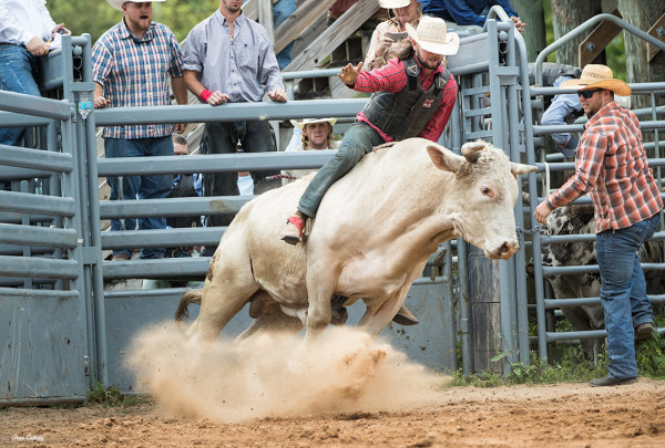 bull riding at the rodeo in fellsmere, florida