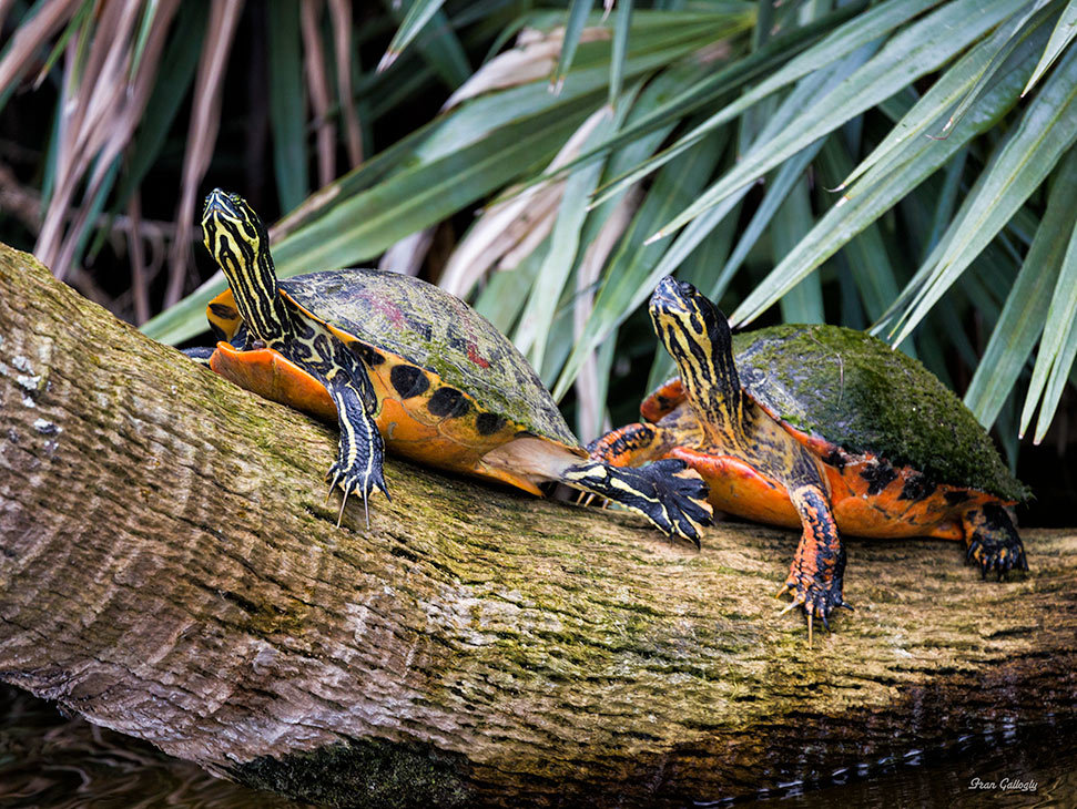 turtles on a log at green cay in Florida