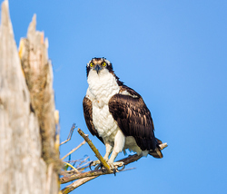 Osprey at Blue Cypress Lake, Florida
