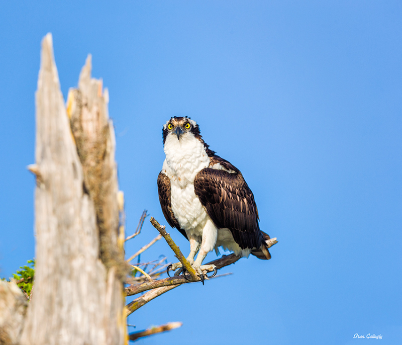 Osprey at Blue Cypress Lake, Florida