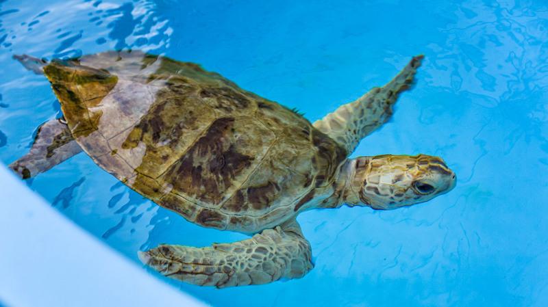 Loggerhead turtle treated for injuries at marine c