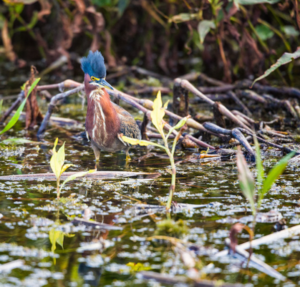 Green Heron hunting, florida