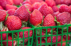 Strawberries from Plant City, FL, at farmers' mark