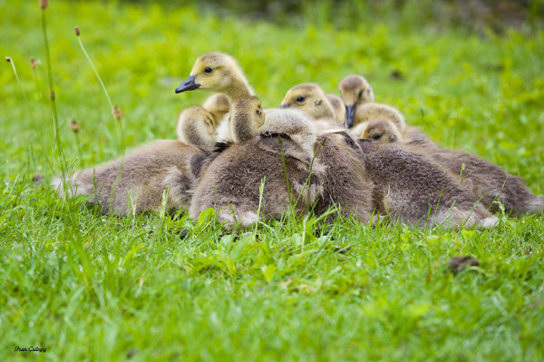Canada Goose chicks huddle to avoid the rain