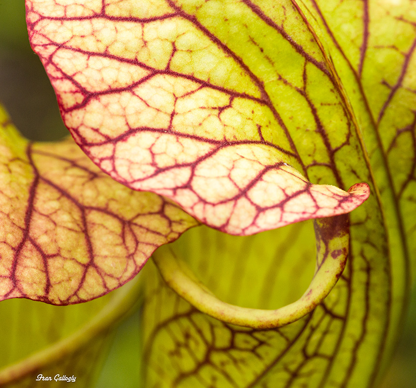 Pitcher Plant in the NY Botanical Gardens