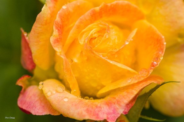 Rose at Rockefeller Rose Garden, NY Botanical Gard