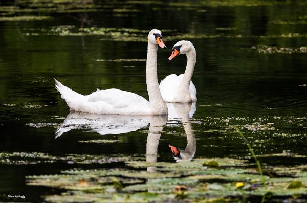 Mute Swans in a reservoir in Easton CT