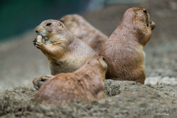 Prairie dogs at Beardsley Zoo, Bridgeport CT