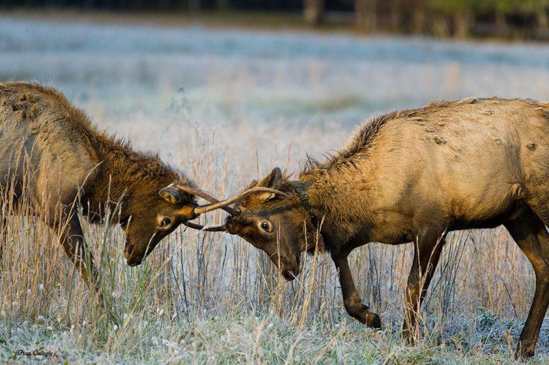 elk,deer,fighting,Smokies,Cataloochee,North Caroli