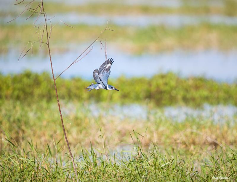 Kingfisher flying in the Stick Marsh, Fellsmere FL