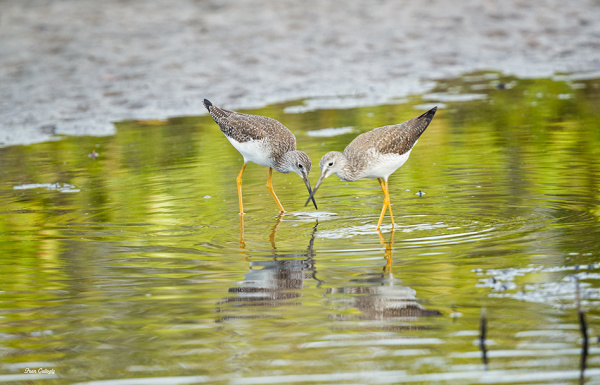 Greater Yellowlegs at Merritt Is. National Wildlif