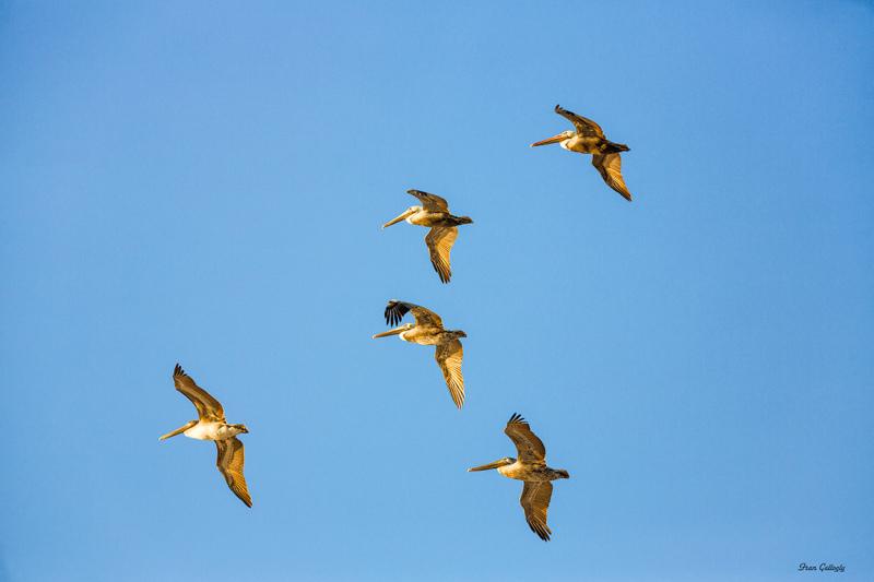 Brown Pelicans flying on Hutchinson Island, FL