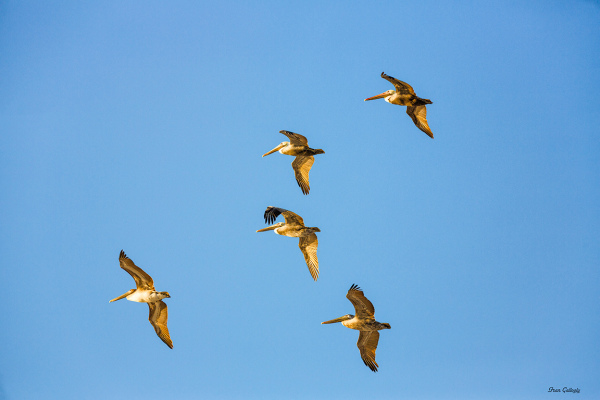 Brown Pelicans flying on Hutchinson Island, FL