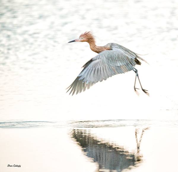 Reddish Egret Takes Off, Merritt Island Florida
