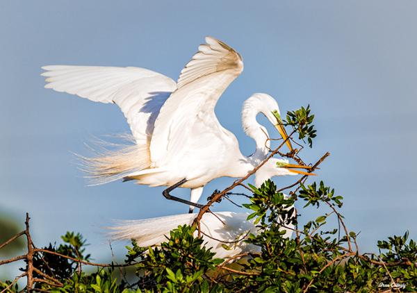 Great Egrets Mating, Venice, Florida