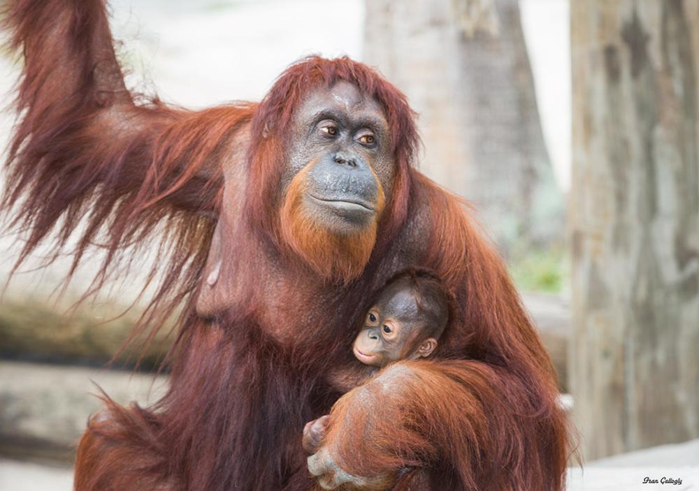 Orangutan and baby at zoo,Tampa FL