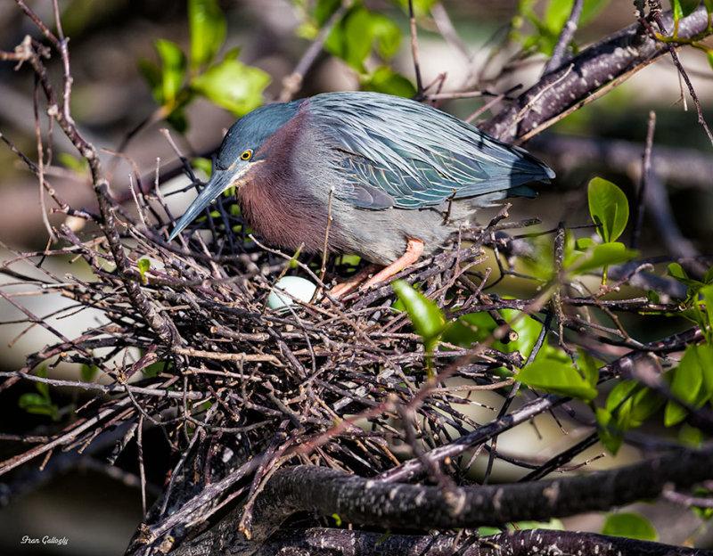 Green Heron on Nest, Wakodahatchee Wetlands, Flori