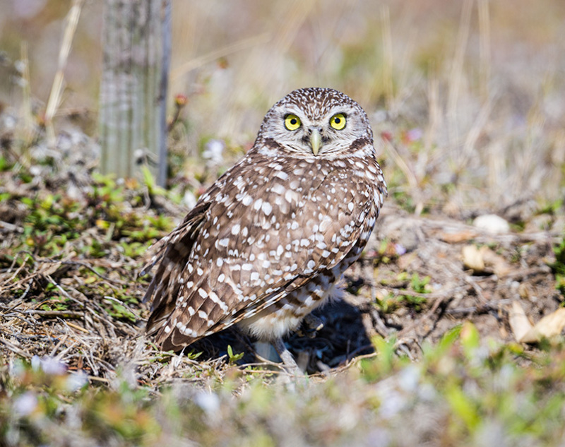 Burrowing Owl, Cape Coral Florida