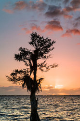 Lone Cypress at Sunrise, Blue Cypress Lake, Florid