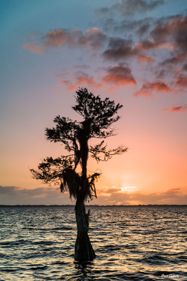 Lone Cypress at Sunrise, Blue Cypress Lake, Florid