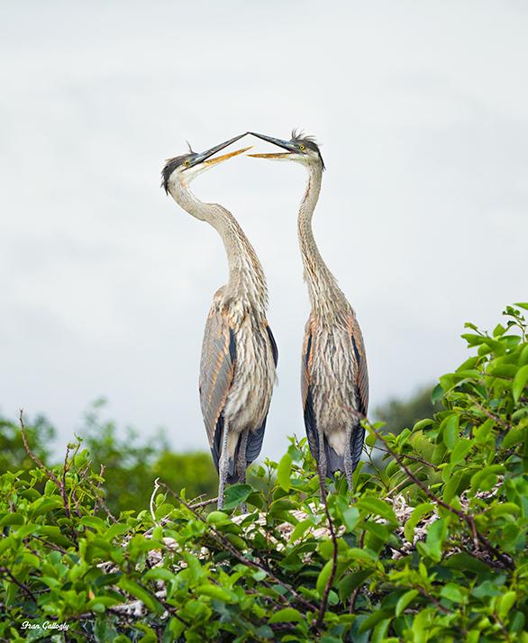 Great Blue Herons Mating in Florida