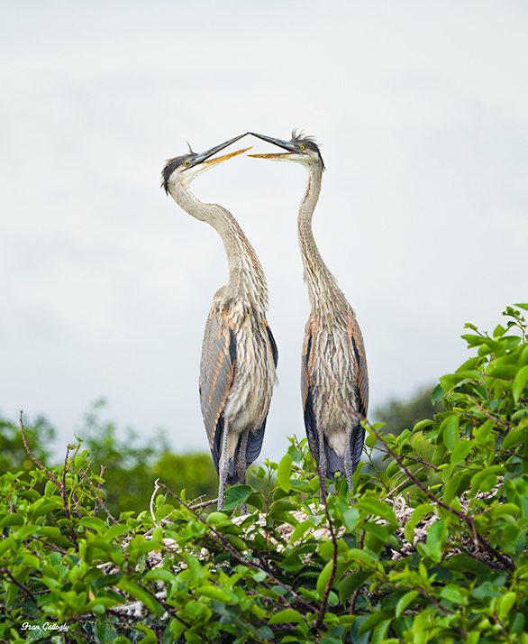 Great Blue Herons Mating in Florida
