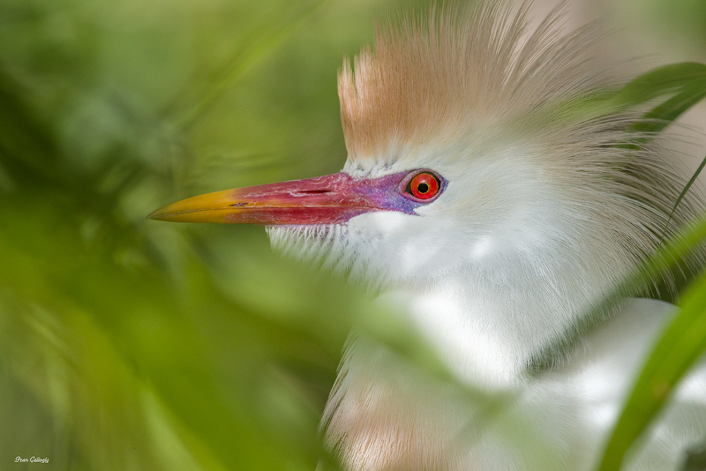 Cattle Egret in mating plumage, florida