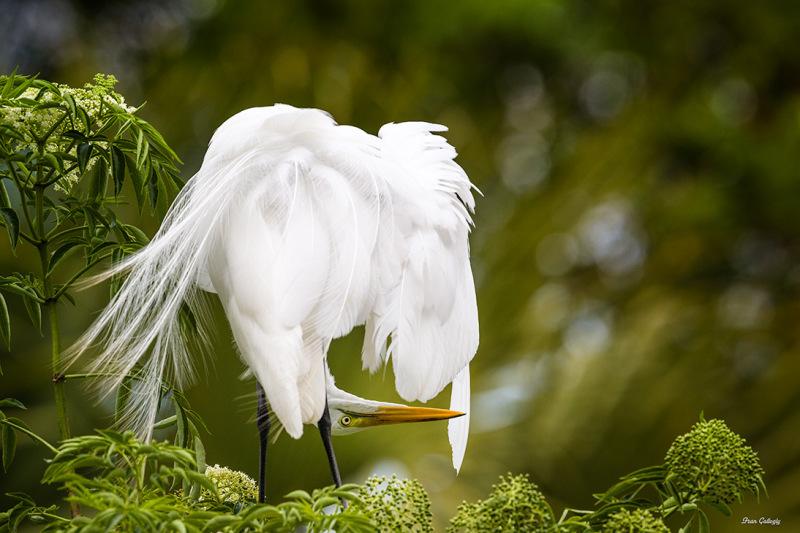 Great Egret Upside Down