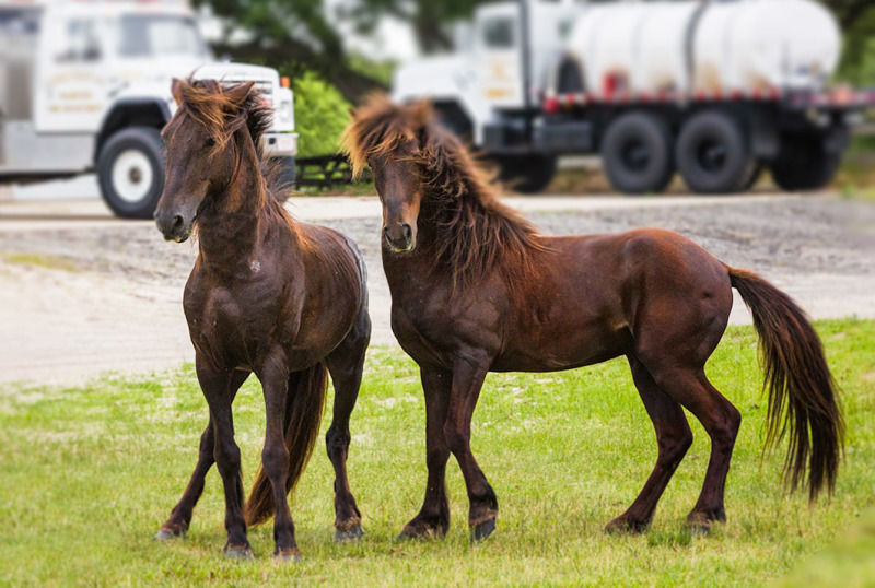Fighting Stallions, Carova, Outer Banks NC
