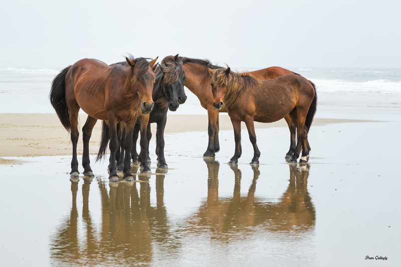 Wild horses on beach in outer banks nc
