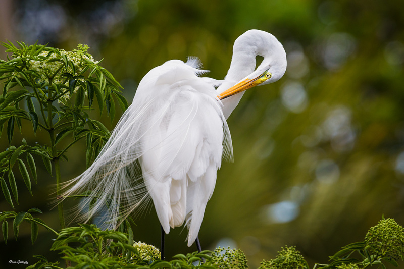 Great Egret, Orlando FL