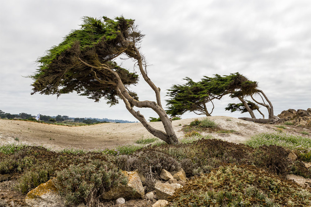 Cypress on 17 mile drive, monterey, california