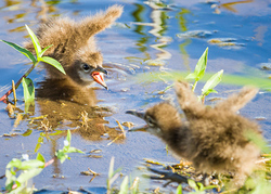 Baby Limpkins Fight in Viera FLorida