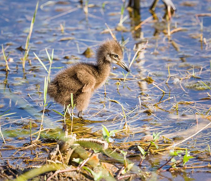Baby Limpkin in Viera Florida