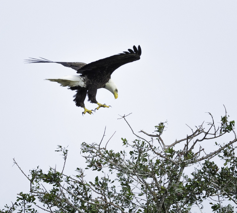 Bald Eagle at Stick Marsh,Fellsmere, Florida