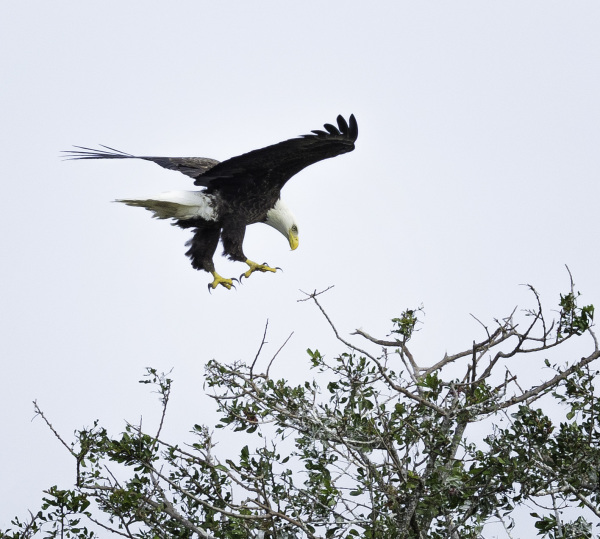 Bald Eagle at Stick Marsh,Fellsmere, Florida