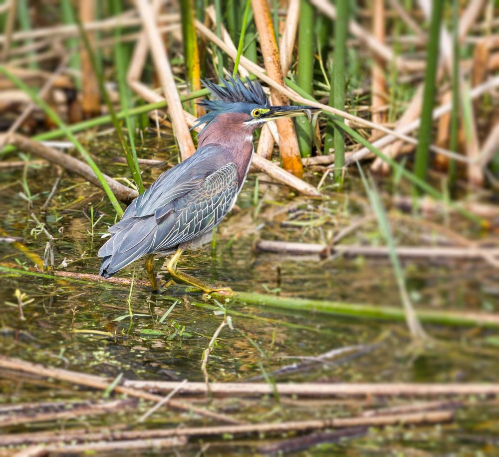 Green Heron Caught a Fish, Green Cay, Florida
