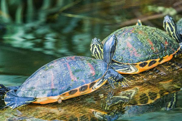 Turtles at Green Cay, Delray, FL