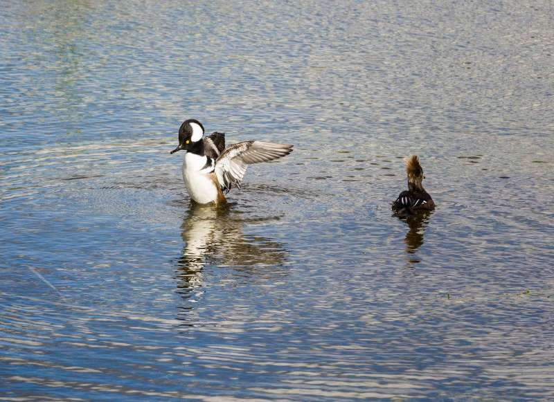 Hooded Mergansers in the wetlands, Viera, Florida