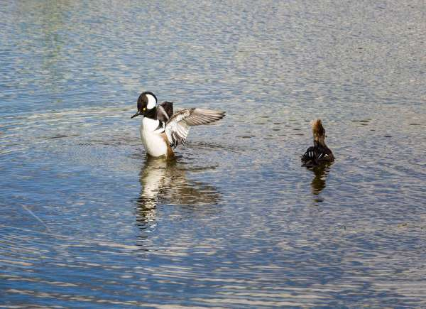 Hooded Mergansers in the wetlands, Viera, Florida